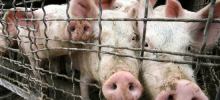 В Литве свиным гриппом больны уже 12 человек