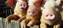 Вакцины от свиного гриппа не хватит на всех