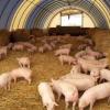 Россельхознадзор обнаружил свиной грипп у стада свиней