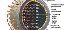 Новосибирский «Вектор» отправил в GenBank 13 геномов вируса A/H1N1