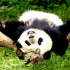 В Китае панд сажают на карантин, чтобы оградить от свиного гриппа