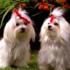 Китайские собаки заразились свиным гриппом