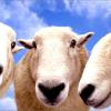 """Коз и овец, зараженных """"козьим гриппом"""", будут уничтожать"""