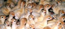 Свиной грипп впервые обнаружили у птиц